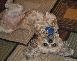 Day 67 - Roxy on her back with her ball CatchTheMoment365