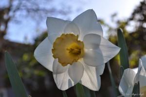 Day 103 - Daffodil