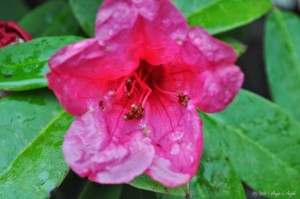 Day 95 - Rhododendron