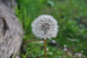 Day 126 - Dandelion