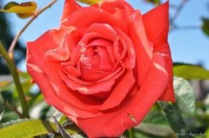 Day 139 - Orange Rose