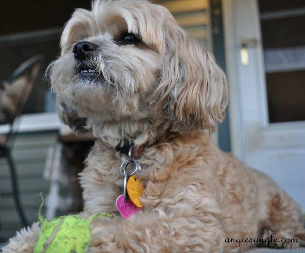 Ball Skilled Puppy- Wordless Wednesday - Roxy Batting the Ball (6)