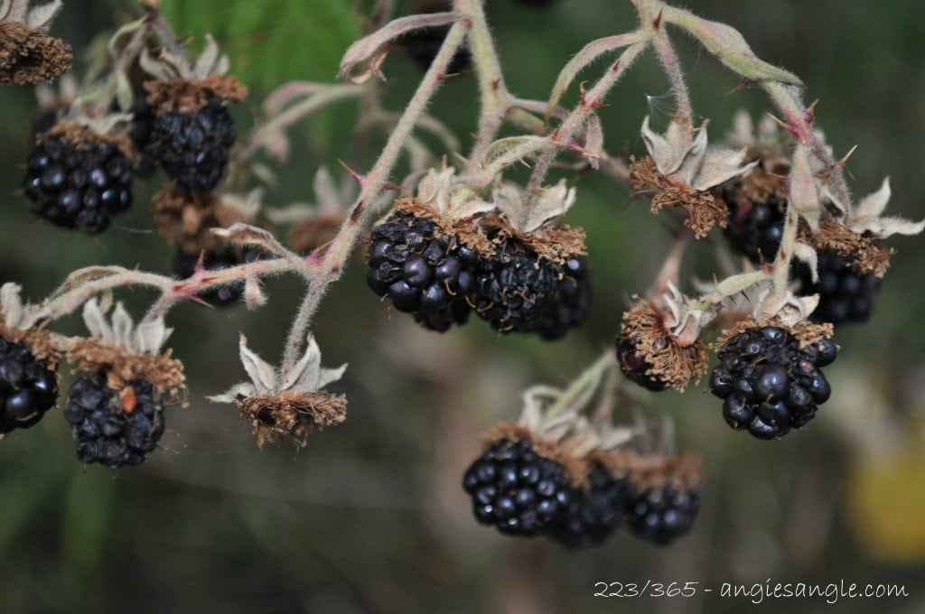 Catch the Moment 365 - Day 223 - Our Blackberries