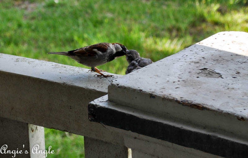2017 Catch the Moment 365 Week 21 - Day 145 - Baby Bird Getting Fed