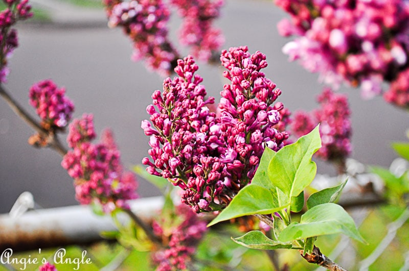 2018 Catch the Moment 365 Week 16 - Day 106 - Lilacs Blooming
