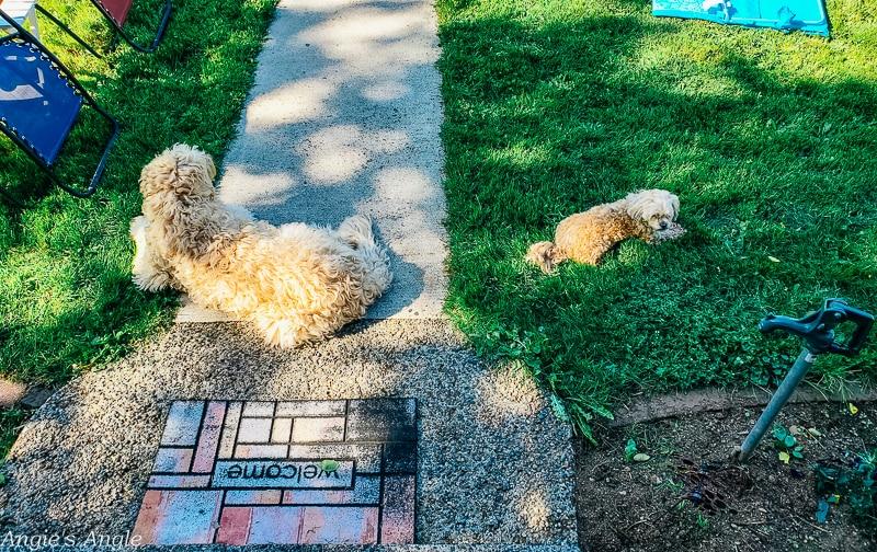 2020 Catch the Moment 366 Week 19 - Day 129 - Doggies Enjoying the Yard