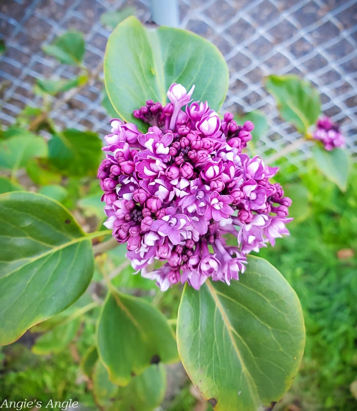 2020 Catch the Moment 366 Week 44 - Day 307 - Lilac Blooming Why