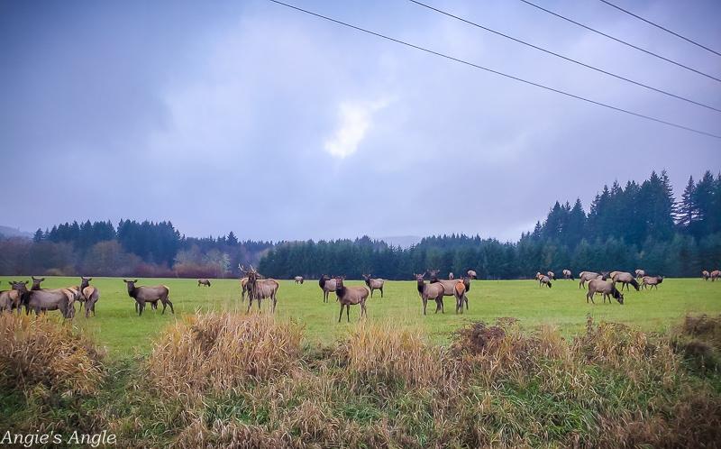 Elk Herd-1
